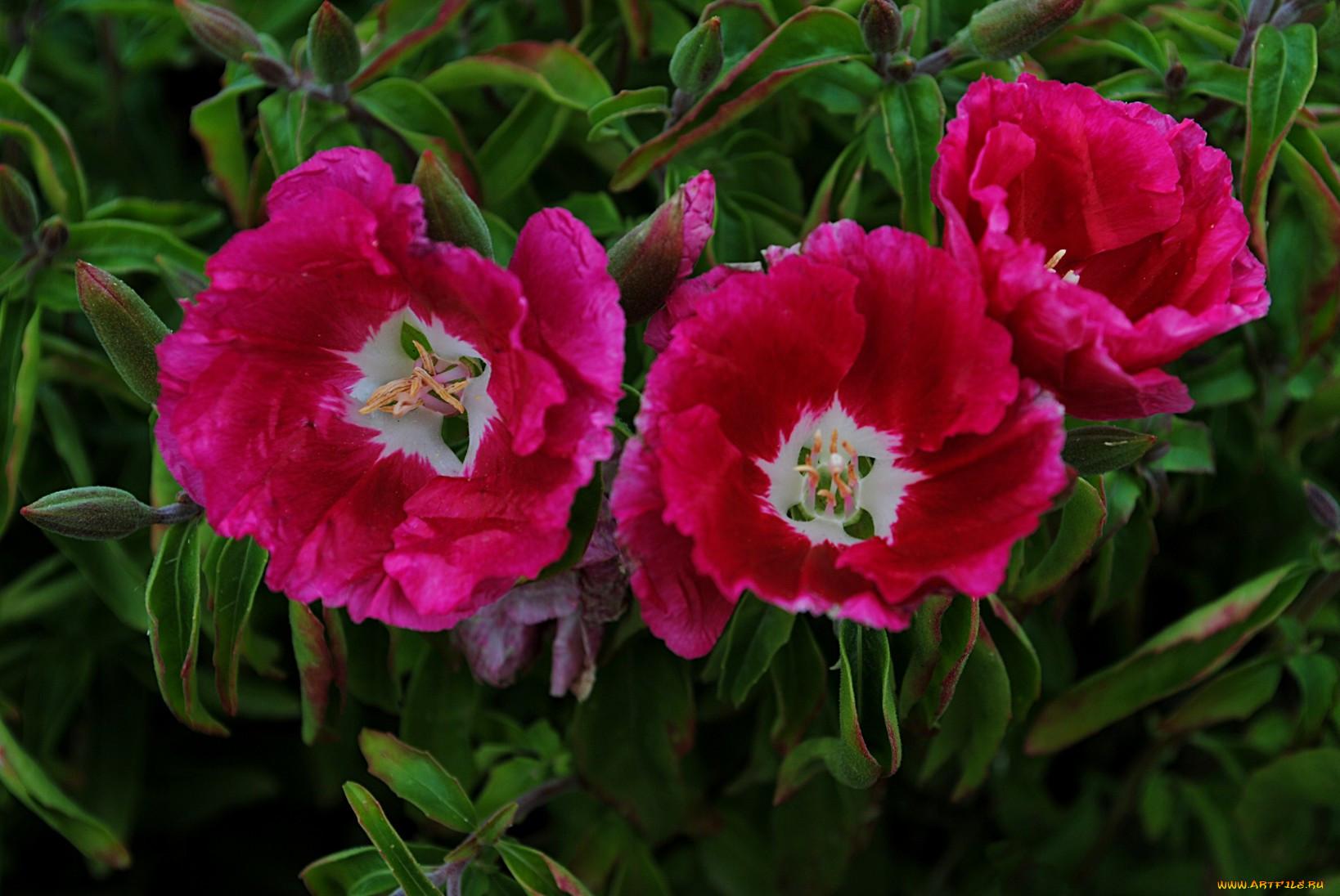 Цветок годеция фото 8
